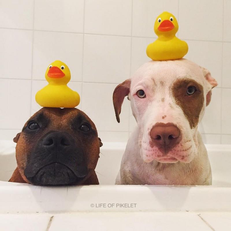 Ce Pitbull adopte deux bébés uniques! Vous allez craquer en les voyant!  - 1