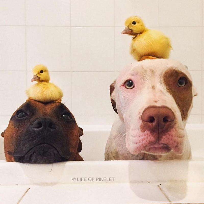 Ce Pitbull adopte deux bébés uniques! Vous allez craquer en les voyant!  - 2