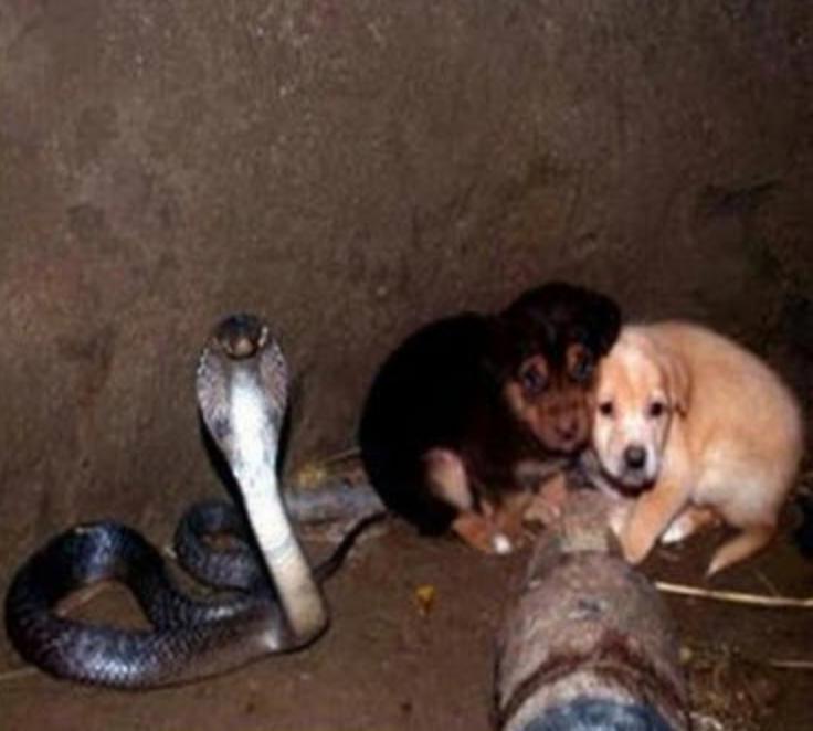 Ces deux chiots tombent dans un puits et ils se retrouvent face à face avec un cobra. Ce qui leur arrive par la suite vous laissera sans mots! - 1